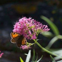 Wall butterfly Lasiommata megera