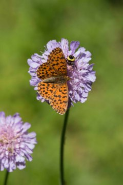 Weavers Fritillary and Napoleon Spider