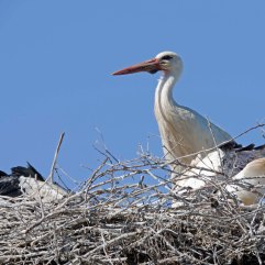 White stork and chicks (2)