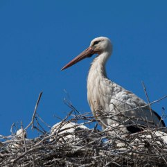 White stork and chicks 2