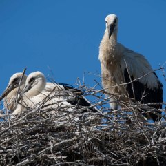 White stork chicks 2