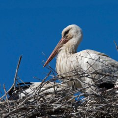 White stork on nest 3