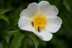 Wild rose with beetles