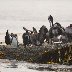 Humboldt Penguin Peruvian Pelican and Imperial Cormorants