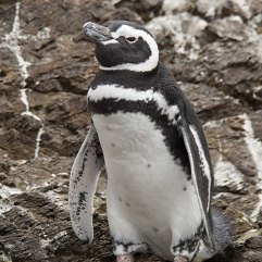Magellanic Penguin 3