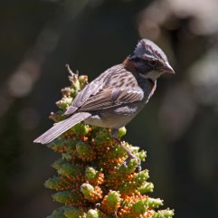 Rufous-collared Sparrow on Gunnera 3