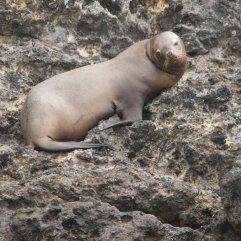 South American Sealion