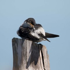 Swallow juvenile sleeping