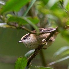 Thorn-tailed Rayadito 2