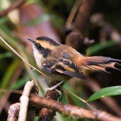Thorn-tailed Rayadito 3