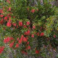 Tristerix corymbosa mistletoe
