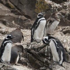 Young Magellanic Penguins