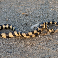 Banded Sea Krait 2