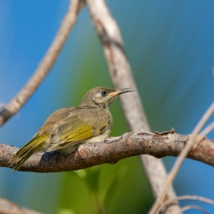 Dark-brown Honeyeater