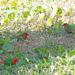 Red-throated Parrotfinches