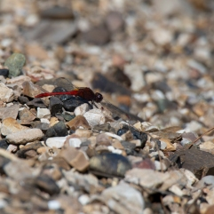 Small red dragonfly