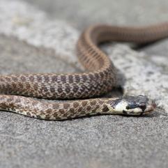 Aesculapian snake, Limano, Tuscany