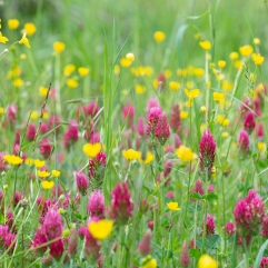 Crimson clover and buttercups, Tuscany