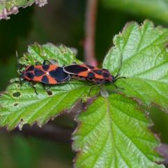 Firebugs Pyrrhocoris apterus