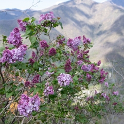 Lilac and Apuan Alps