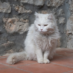 Limano white cat 1