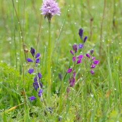 Polygala nicaeensis and Orchis tridentata, Minano,Tuscany