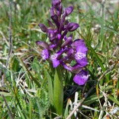 Orchis morio 2