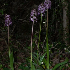 Orchis purpurea clump
