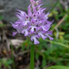 Orchis tridentata 8