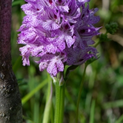 Orchis tridentata 9