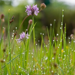 Wet grass and Orchis tridentata, Limano, Tuscany