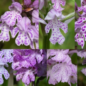 Variation in Orchis tridentata