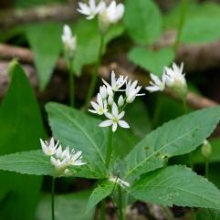 Ramsons Allium ursinum