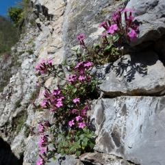 Rock Soapwort Saponaria ocymoides