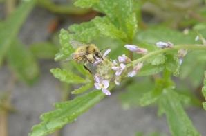 Bumblebee on Cakile maritima 2