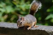 Douglas Squirrel 2 Stanley Park