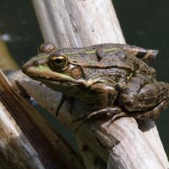 Marsh Frog, Eastern Slovenia