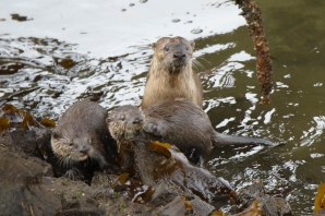 Otter and cubs 2