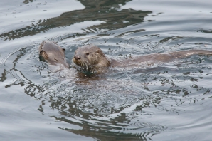 Otters 1