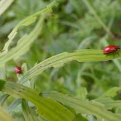 Scarlet lily beetle Lilioceris lilii