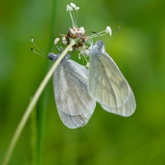 Wood White butterflies mating, Kosjanski Park, Slovenia